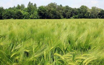Fosfitos: una nueva tecnología para potenciar el rendimiento en trigo