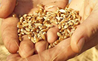 Claves del tratamiento de semillas de trigo para obtener cultivos de calidad