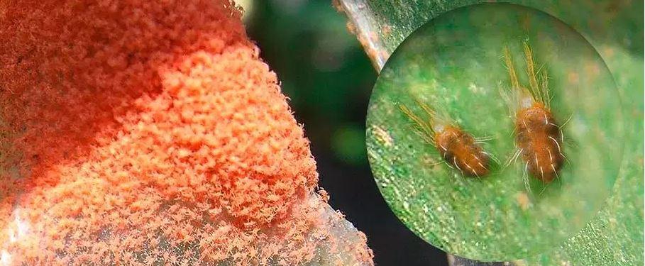 Arañuela: el pequeño gran enemigo de la soja en tiempos secos