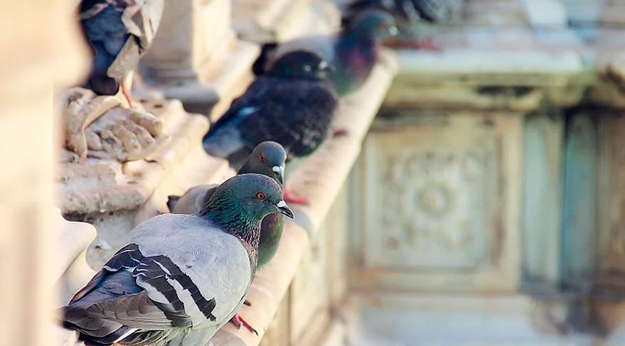 Control y erradicación de palomas