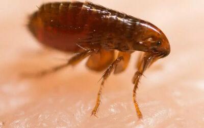 Eliminando pulgas