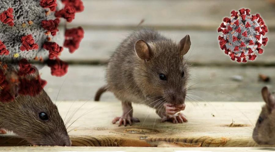 Control de roedores en tiempos de Covid-19