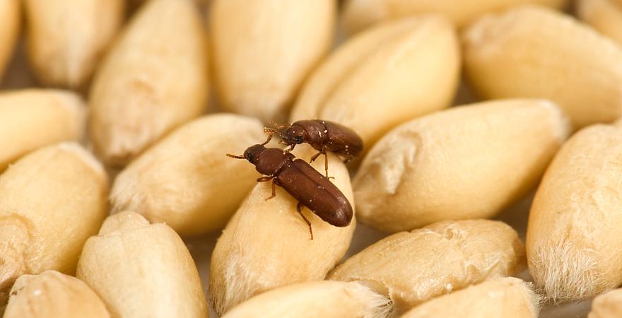 Control Integrado de Plagas en granos almacenados
