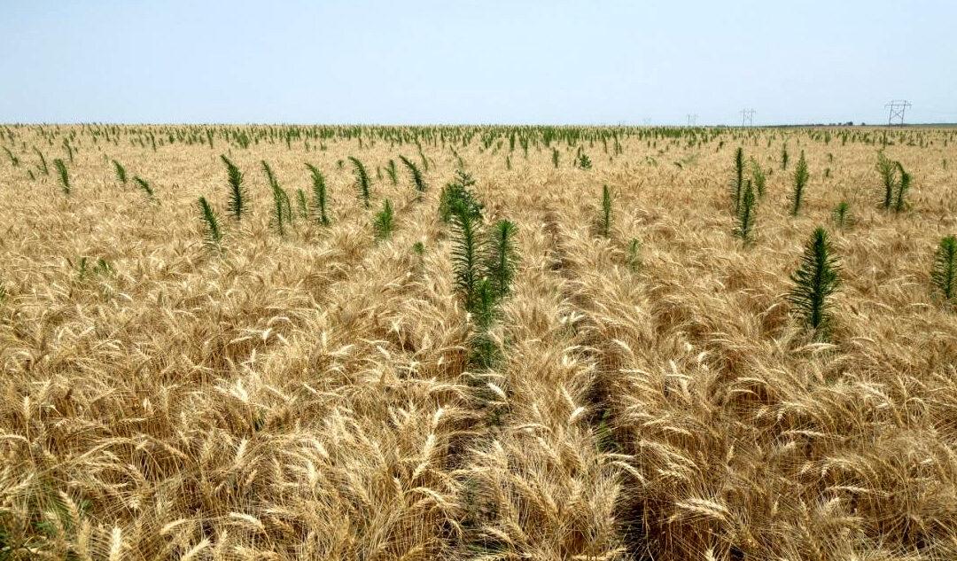 Enfrentando malezas en trigo