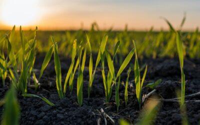 A no descuidar el monitoreo del trigo